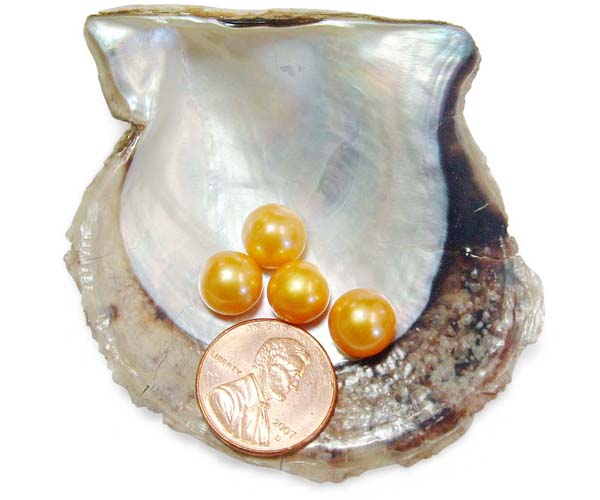 Gold 9-9.5mm AAA Quality Button Pearl , Half Drilled